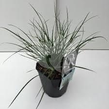 Plantenwinkelnl Lampenpoetsersgras Pennisetum Alopecuroides