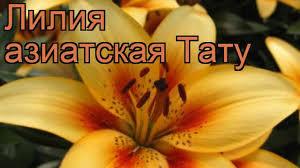 лилия азиатская тату Lilium Asiatic Tattoo лилия тату обзор как сажать луковицы лилии тату