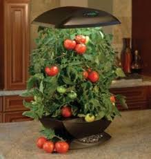 indoor tomato garden. Tomatoes Make Another Smart Choice For The Indoor Garden. Opt Smaller Varieties In Order To Manage Growth Of Plant. Tomato Garden A