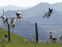 Image result for dog jumps fence gif greyhound