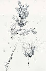 Work From Botanical Artists In The Collection Of Dr Shirley Sherwood