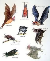 Types Of Bats Chart 218 Best Mammals Images Mammals Animals Animal Drawings