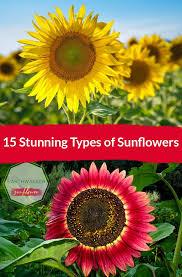 15 stunning types of sunflowers here banner showcasing