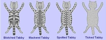 Tabby Patterns Awesome Au Pays Des Coons Cattery Colors And Patterns