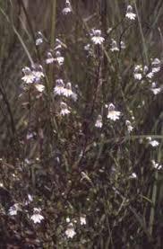 Euphrasia officinalis subsp. kerneri - Legge regionale 10 - Flora e ...