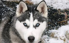 full hd wolf in blue eyes hd wallpapers