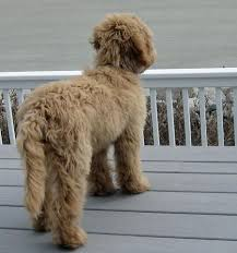 Small Picture 25 best Labradoodle pictures ideas on Pinterest Golden doodles