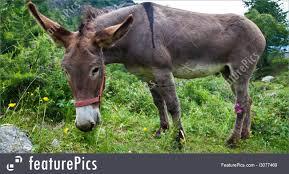 Donkey in italian