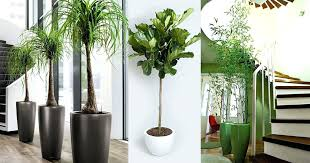 large plants best large indoor plants tall houseplants for home and offices balcony garden web large