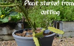 How To Get Your Dragon Fruit Cactus To Fruit How To Take Care Of Dragon Fruit Tree