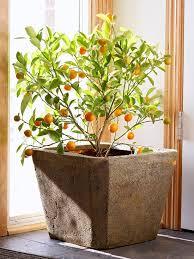Best 25 Orange Trees Ideas On Pinterest  Orange Symbolism Kumquat Tree Not Bearing Fruit