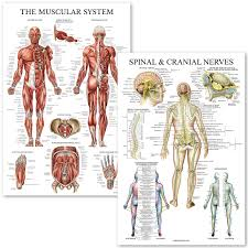 Nerve Chart Leg Muscular System Spinal Nerves Anatomical Poster Set