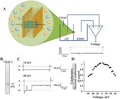 The mitochondrial voltage-dependent anion channel 1 in tumor cells ...