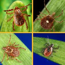 Cdc Tick Identification Chart Ticks Ticks Cdc