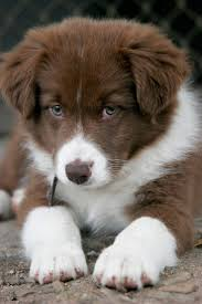 1000 ideas about Collie Hund on Pinterest Dog Collie and Hunde.