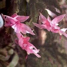 Эпифитные кактусы растения декабристы рипсалидопсис гэртнери  Эпифитные кактусы