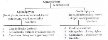 Gymnosperm Classification And Economic Importance