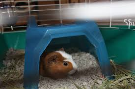the best guinea pig bed your pet will