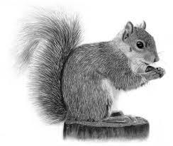 Small Picture Drawing of a Squirrel Melissa Schatzmann graphite pencil