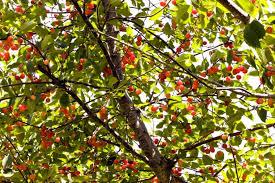 Kersenboom kopen
