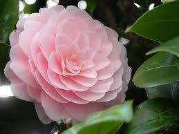 flowers from camellia flower image source linneabylinneanilsson wordpress
