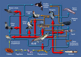 emperor penguin food chain. Perfect Emperor The Southern Ocean Food Web On Emperor Penguin Food Chain P