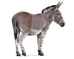 African wild ass donkey