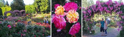 the international rose test gardens in portland oregon offer fabulous flowers throughout the summer