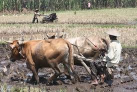perbedaan membajak sawah dengan kerbau dan traktor