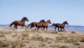 wild horses galloping.  Wild Wild Horses In The Sandwash Basin Of Northwestern Colorado In Horses Galloping R