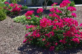 bougainvillea can grow in almost any soil because they are a true xeriscape plant this makes it an ideal choice for landscaping particularly for those