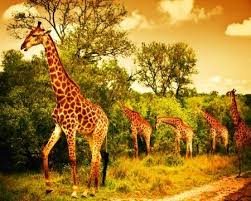 wild animals in african forest.  African Image Of A South African Giraffes Big Family Graze In The Wild Forest  Wildlife In Wild Animals Forest F