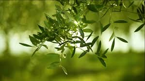 olive green tree leaves growing in the garden natural sunny background hd 1080