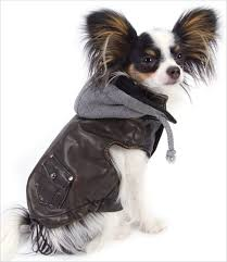 Papillon Dog Clothes Goldenacresdogs Com