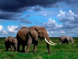 Elephant Backgrounds For Desktop Group ...