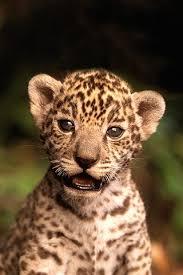 baby jaguar wallpaper. Plain Jaguar Jaguar Cub IPhone Wallpaper Inside Baby