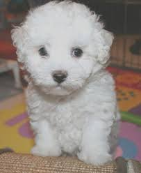 top 3 cutest small dog breeds dog breeds poodle and siblings top 3