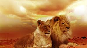 African Lion Wallpapers - Top Free ...
