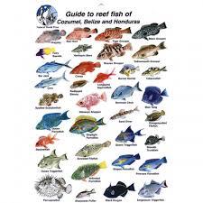 Chesapeake Bay Fish Identification Chart Fish Identification Fish Id Card Cozumel Belize And