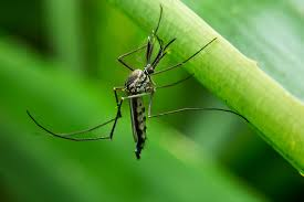 Do Mosquitoes Come To Light How To Keep Mosquitoes Away Geting Rid Of Mosquitoes