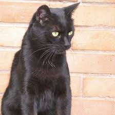black cats with gold eyes. Fine Gold Wild Cats In Temperate Regions Mostly Have Hazel Eyes But Domestic Catsu0027  Eye Colours Vary From Blue Through Green To Yellow Orange And Brown To Black Cats With Gold Eyes S