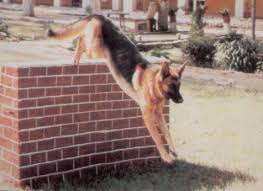 the army dog breeding training centre and adbtc s was elished in 1952 it was igned the mission of breeding rearing training and issue of