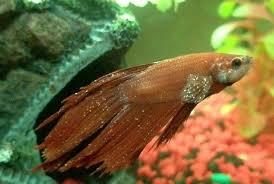 Ciri Ciri Ikan Molly Stress