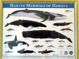 Whale Chart Species Pmrf Pics 10 Whale Chart Pmrf Lobby