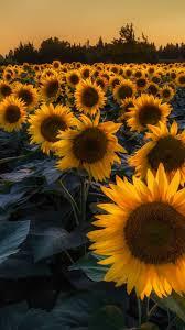 Iphone Sunflower Wallpapers - KoLPaPer ...