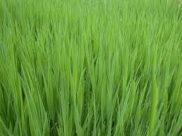 tall grass texture seamless. Perfect Tall Lush Green Grass Texture On Tall Seamless X