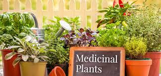 11 medicinal plants you can grow at home