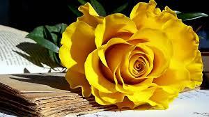 1920x1200 yellow roses hd wallpaper