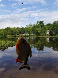 Piranha Caught In Becks Pond Delaware Surf Fishing Com