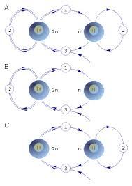 Жизненный цикл биология Википедия Жизненный цикл Схематическое изображение основных типов жизненных циклов с чередованием диплоидной и гаплоидной фазы 1 мейоз редукция 2 митоз